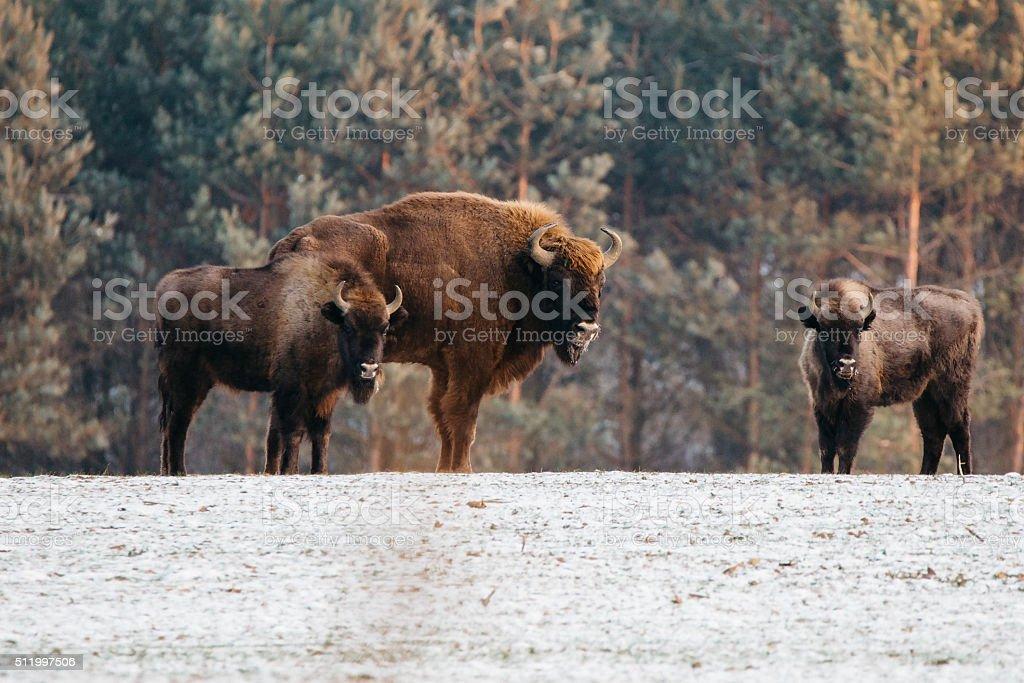 Trzy żubry na polanie stock photo