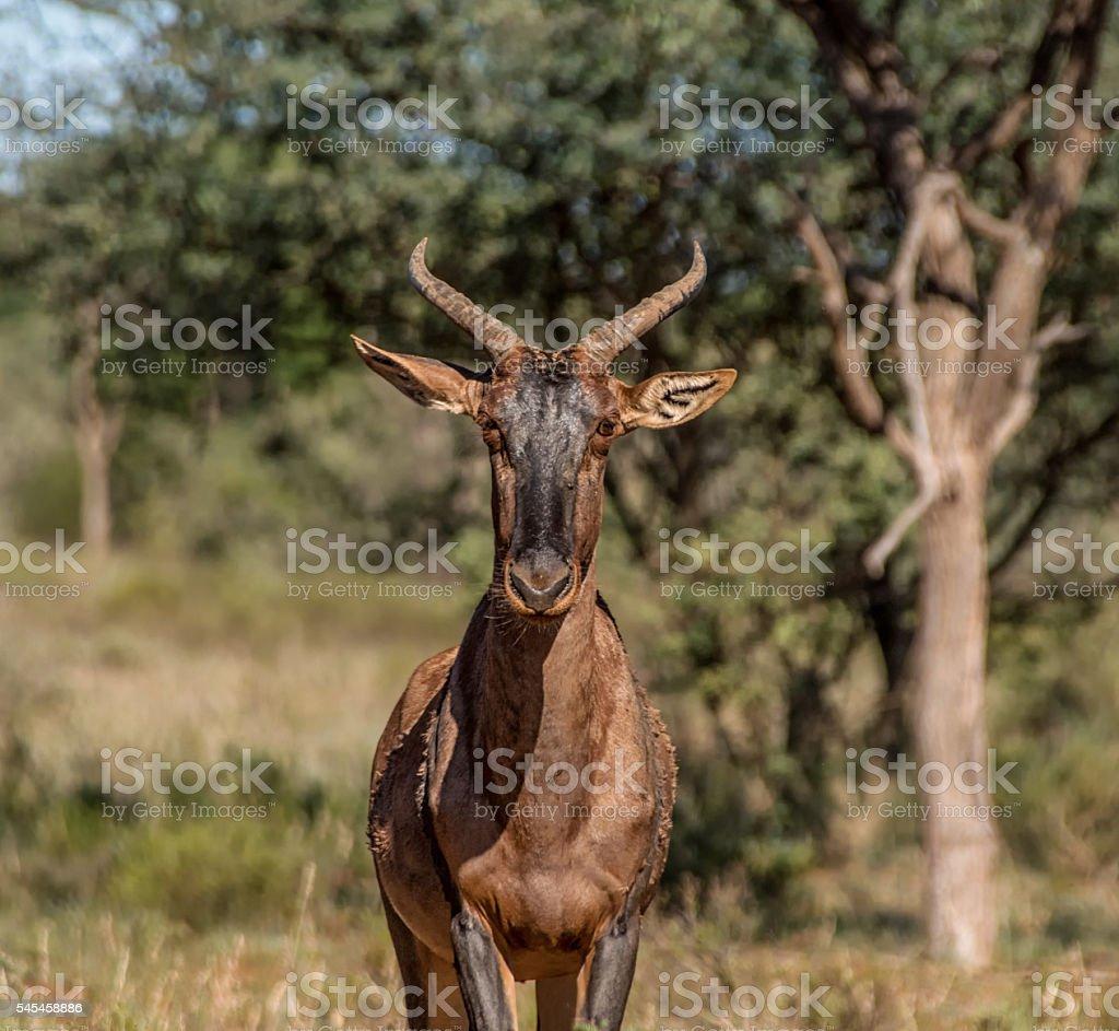 Tsessebe Antelope stock photo