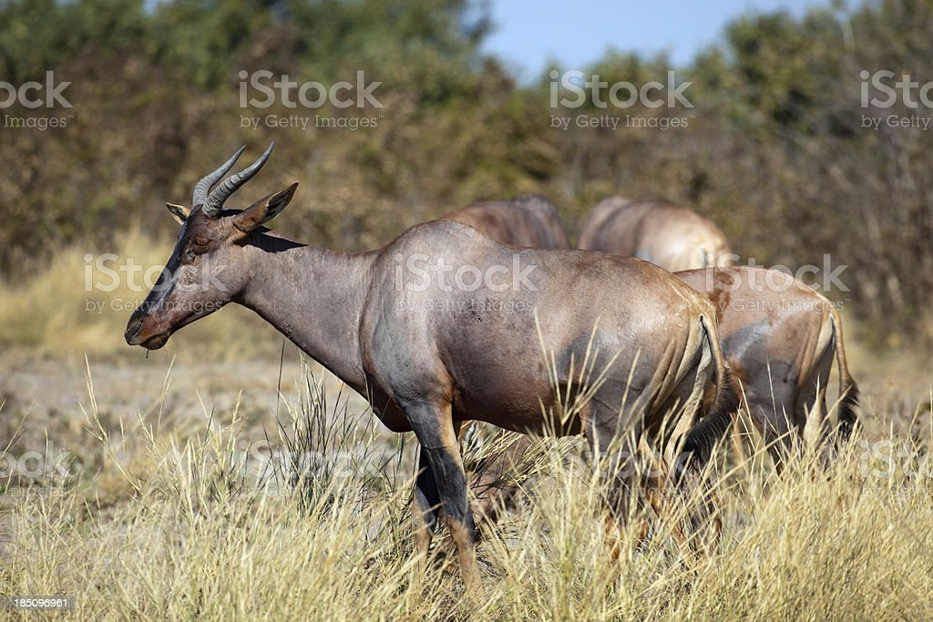 Tsessebe Antelopes royalty-free stock photo