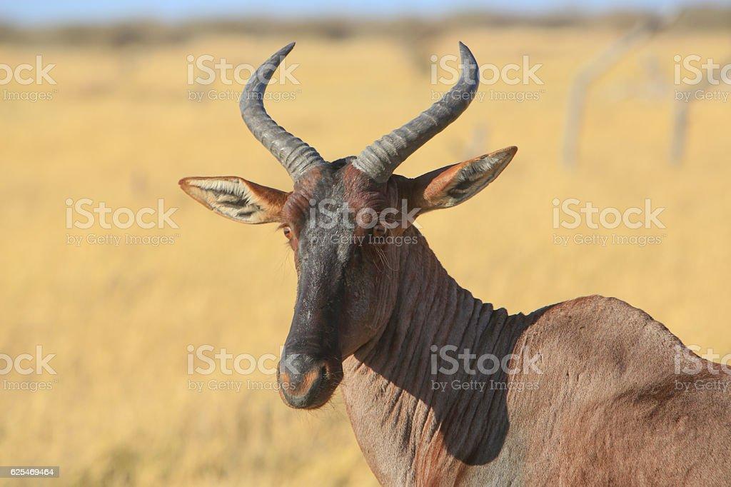Tsessebe in Savuti, Chobe National Park, Botswana stock photo