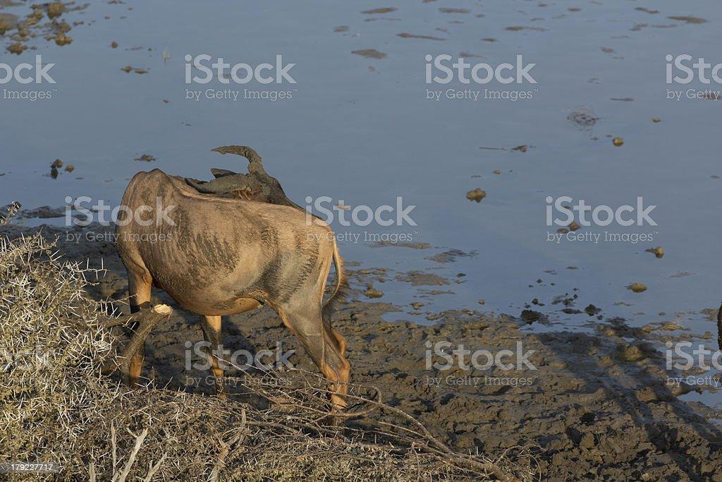 Tsessebe royalty-free stock photo