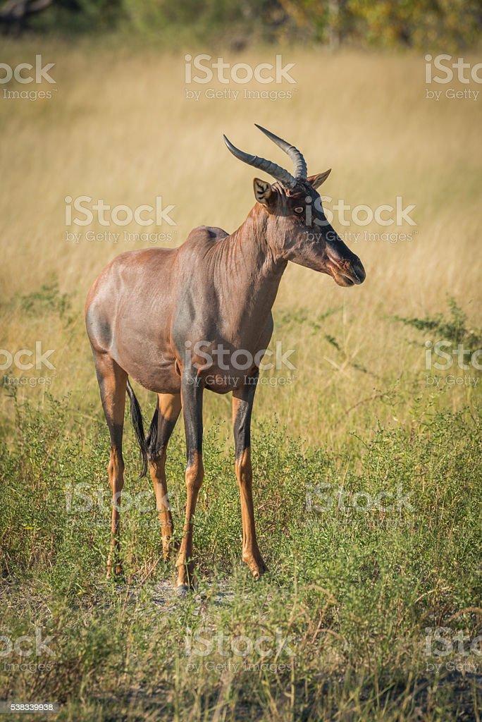 Tsessebe standing on grassy plain  facing camera stock photo