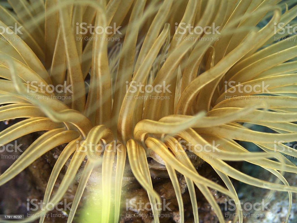 Tube anemone close up royalty-free stock photo
