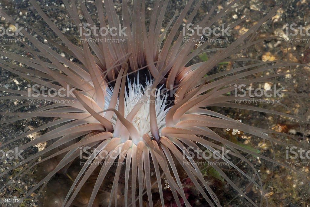 Tube anemone hosting some Anemoneshrimps, Lembeh Strait, North Sulawesi, Indonesia royalty-free stock photo
