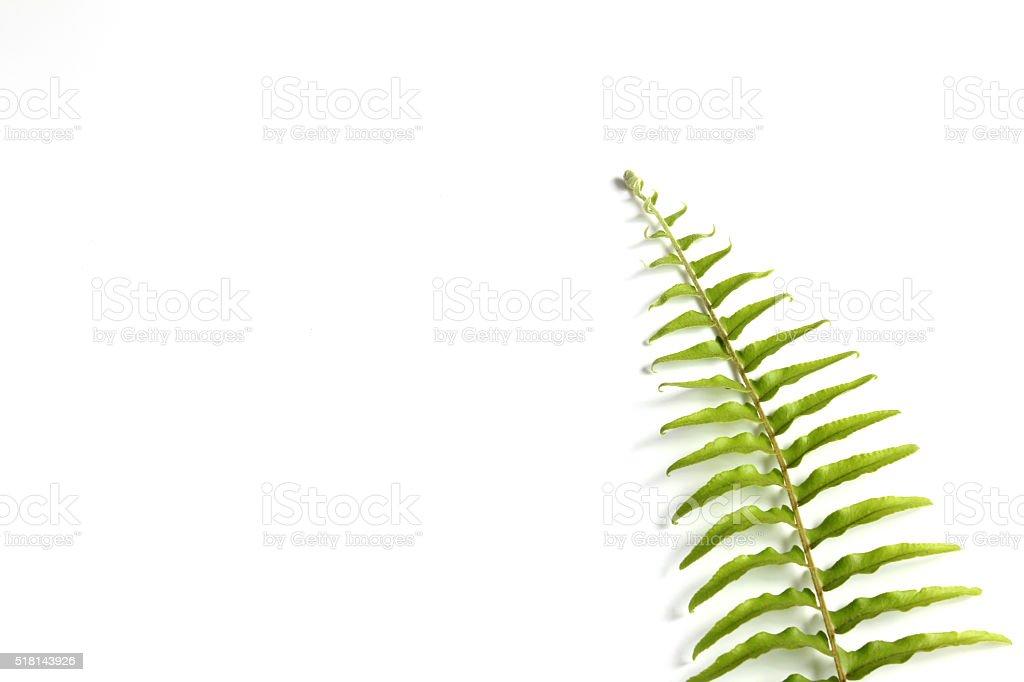Tuber sword fern on white background stock photo