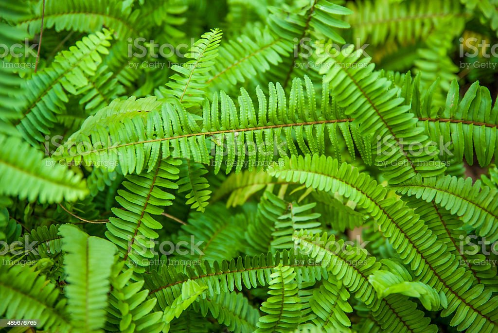 Tuber Sword Fern royalty-free stock photo