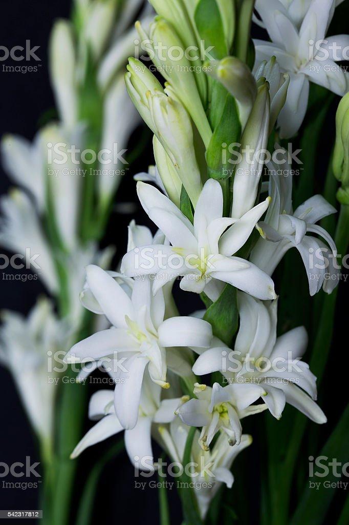 Tuberose Flower isolated on black background stock photo