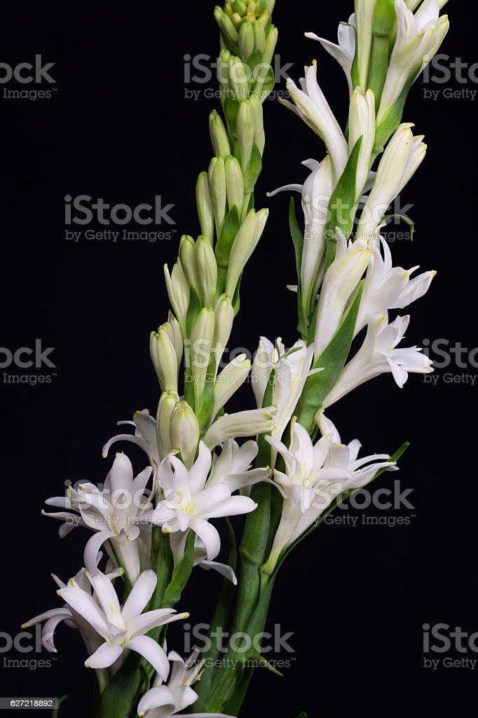 Tuberose (Polianthes tuberosa) Flower isolated on black background stock photo