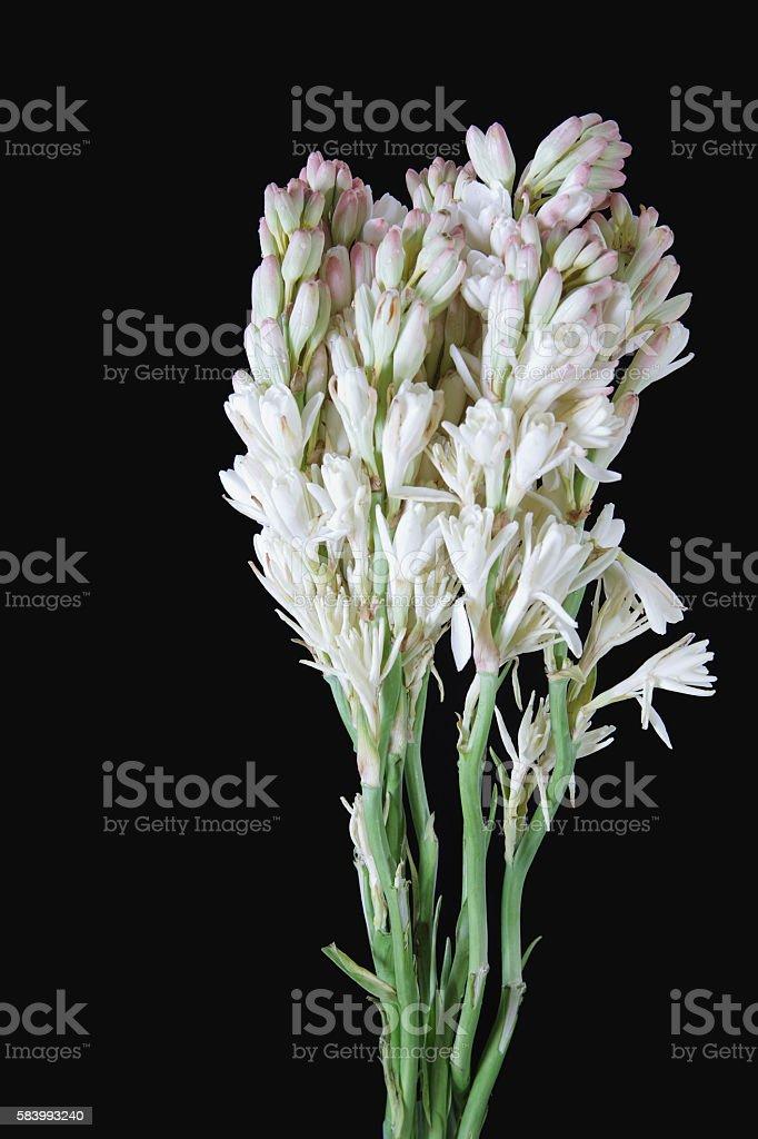 Tuberose flowers on black stock photo