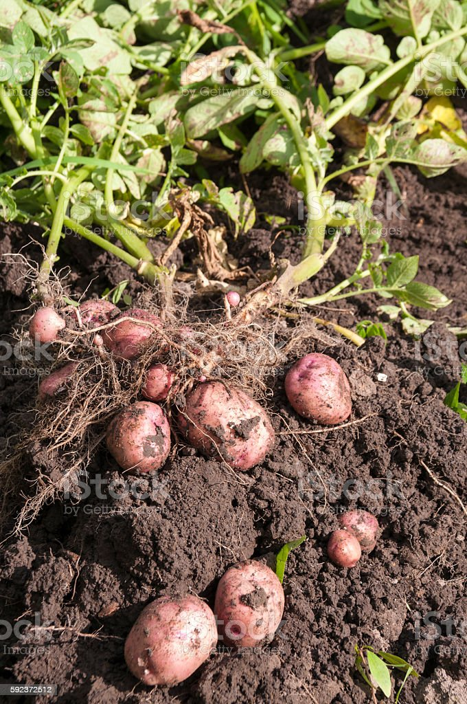 Tubers of red potatoes lies on a bed stock photo