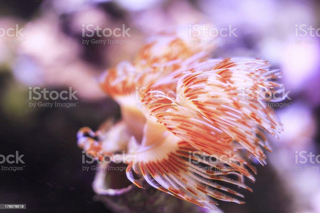 tubeworm (protula bispiralis) stock photo