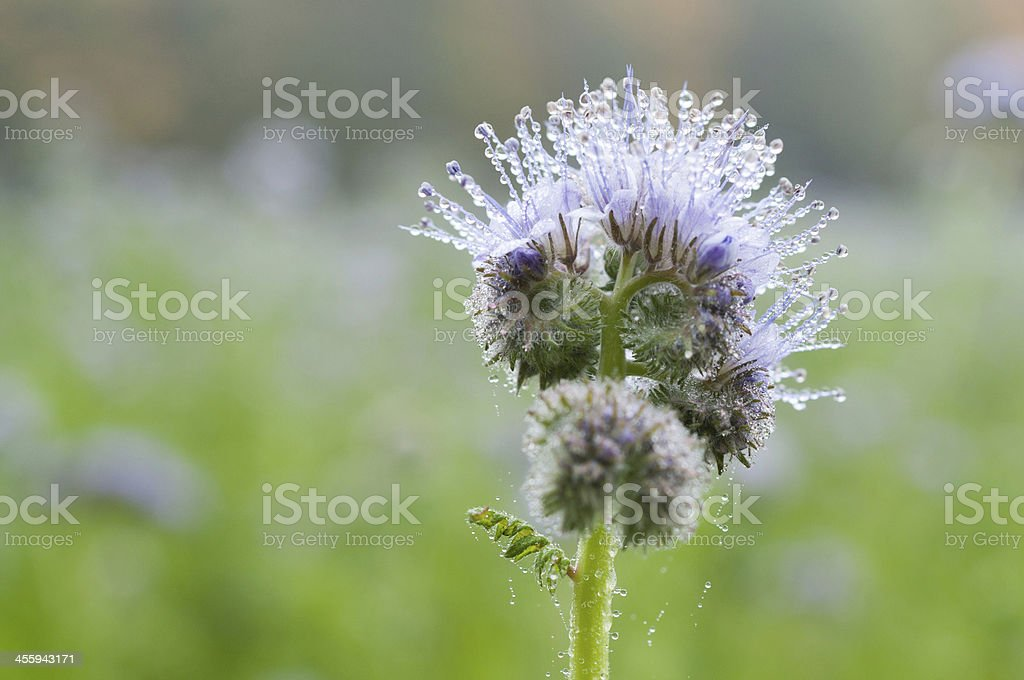 Tuft flower (Phacelia) on arable land. Agriculture, Southern Ger stock photo