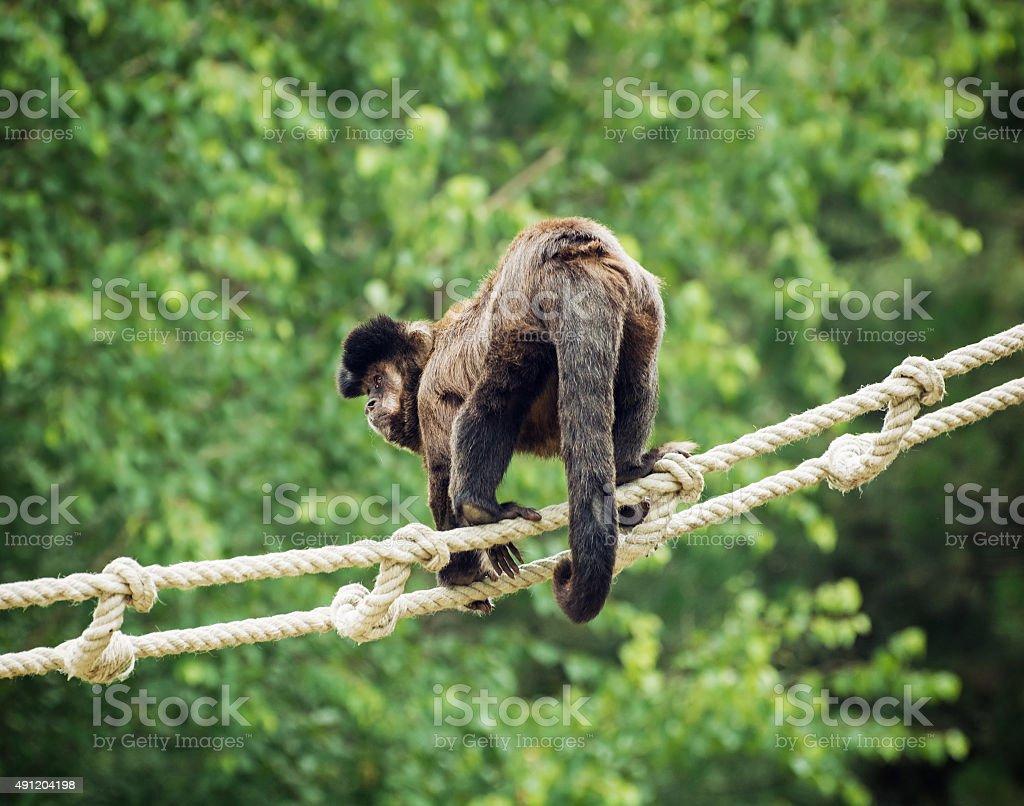 Tufted capuchin (Cebus apella) stock photo