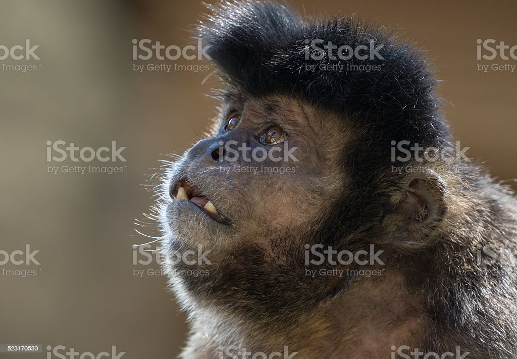 Tufted capuchin (Sapajus apella) stock photo