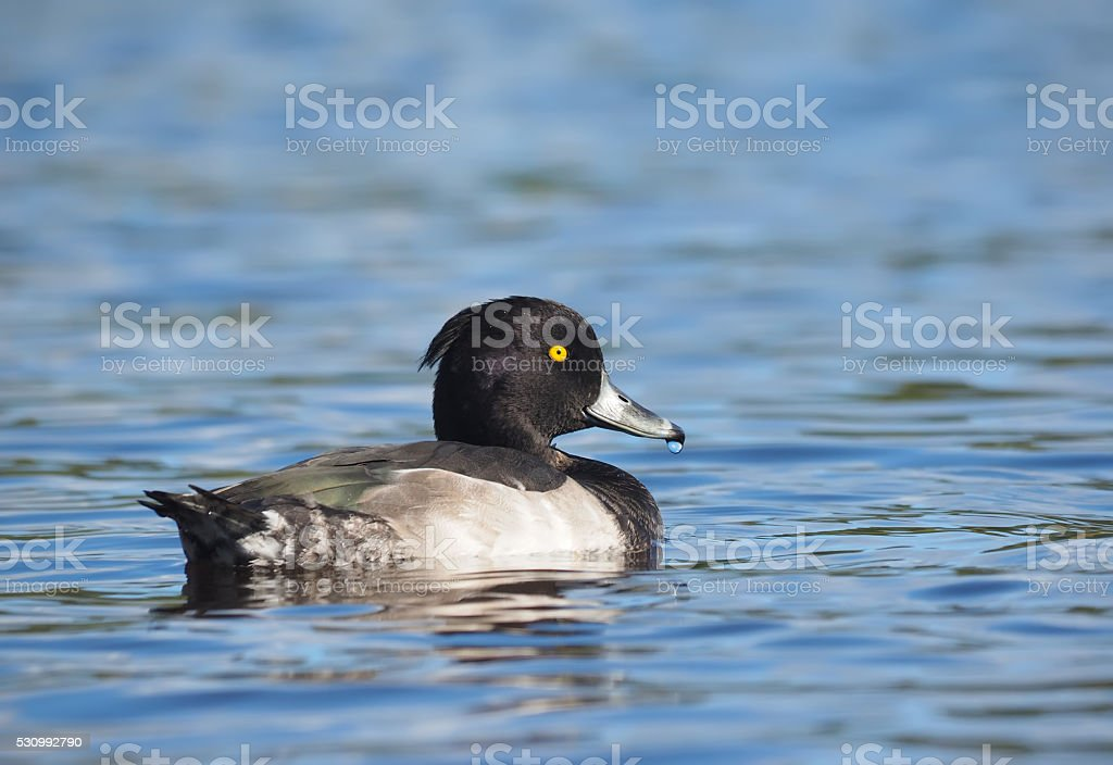 tufted duck on the lake stock photo