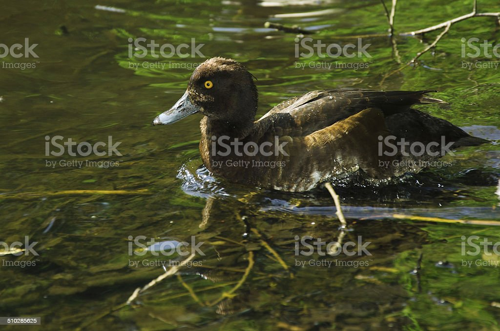 Pato-de-penacho (fêmeas foto de stock royalty-free