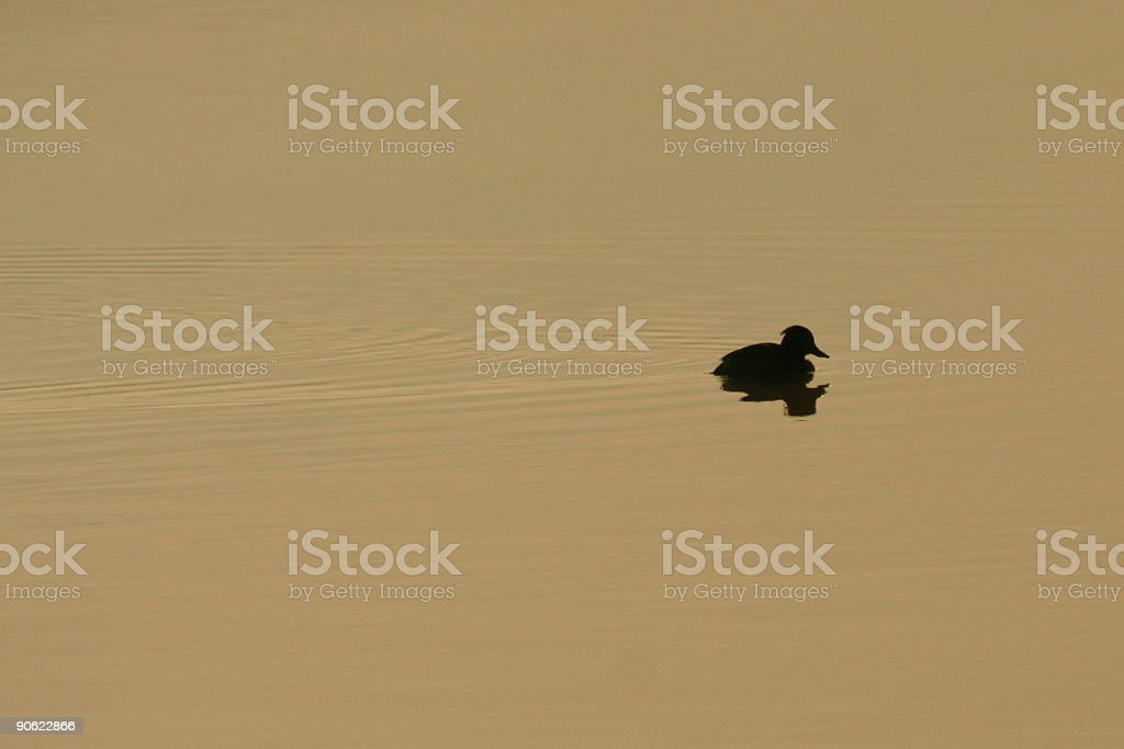 Tufted Duck Silhouette royalty-free stock photo