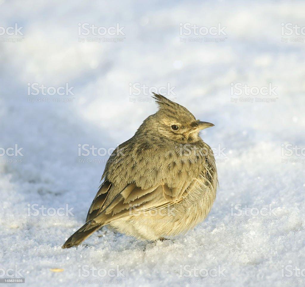 Tufted lark royalty-free stock photo