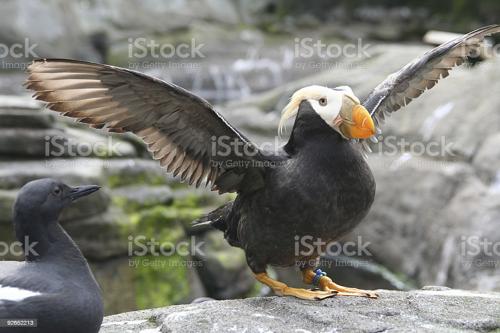 Tufted puffin,  flapping wings stock photo