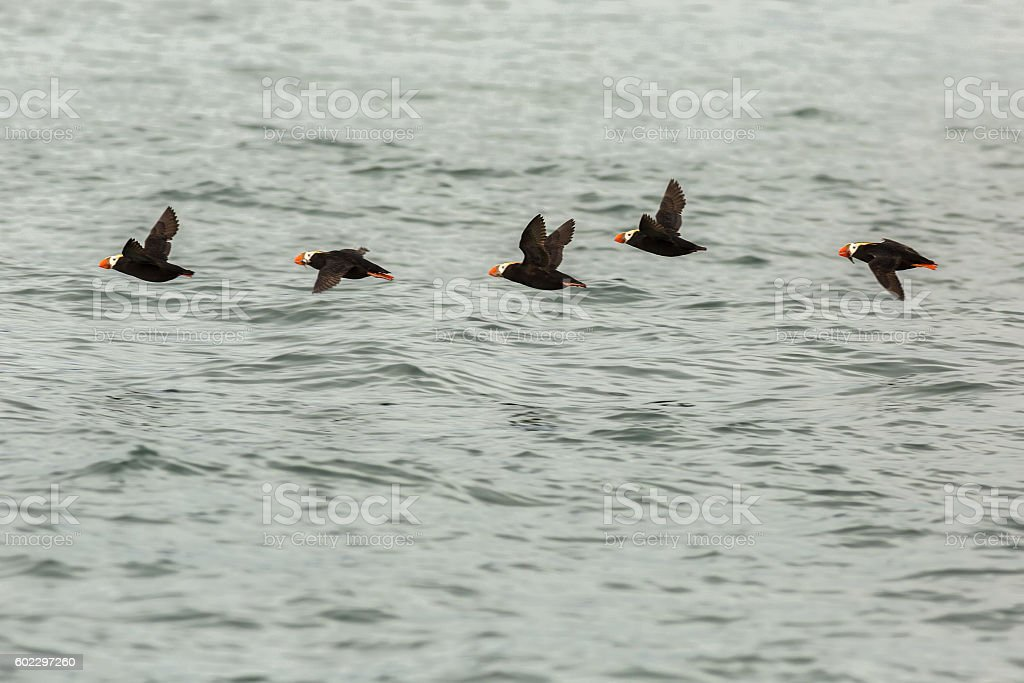 Tufted puffin fly with a fish in its beak over stock photo