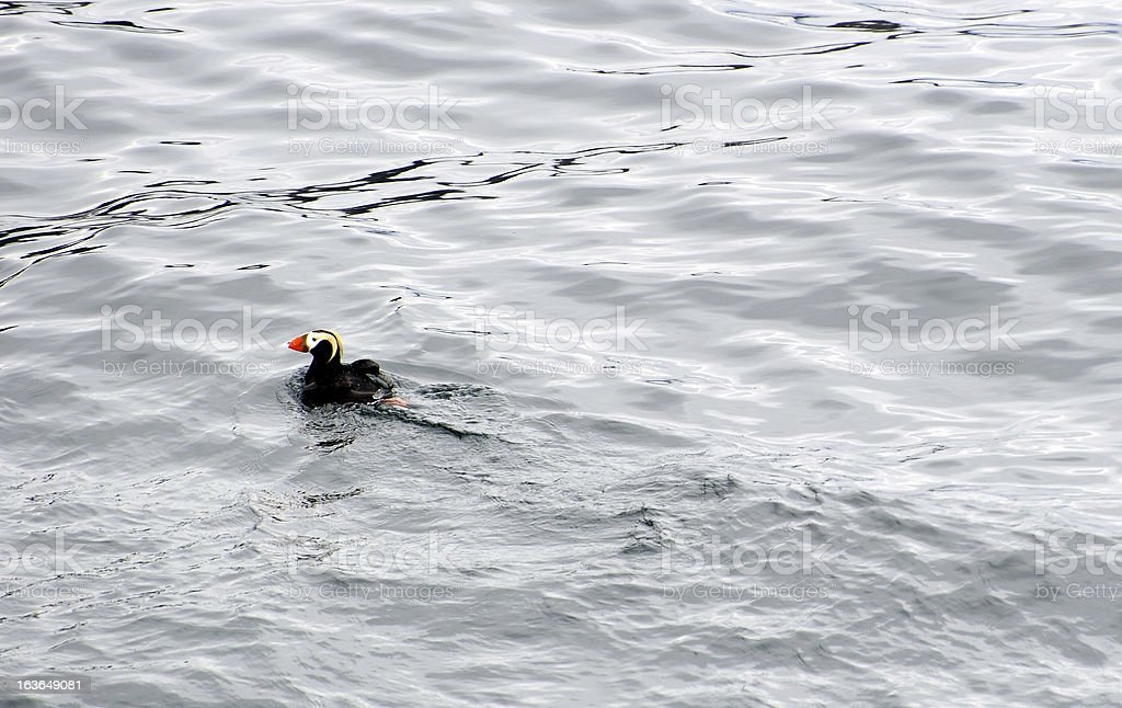 Tufted Puffin stock photo