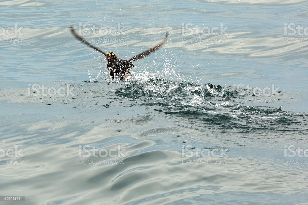 Tufted puffin scatter on water for take-off. stock photo