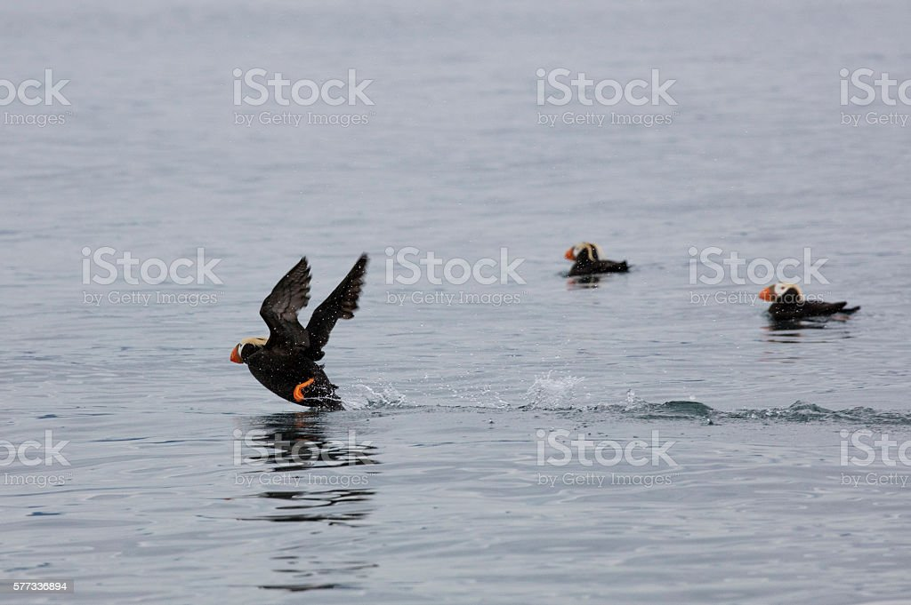 Tufted Puffin taking off to fly stock photo