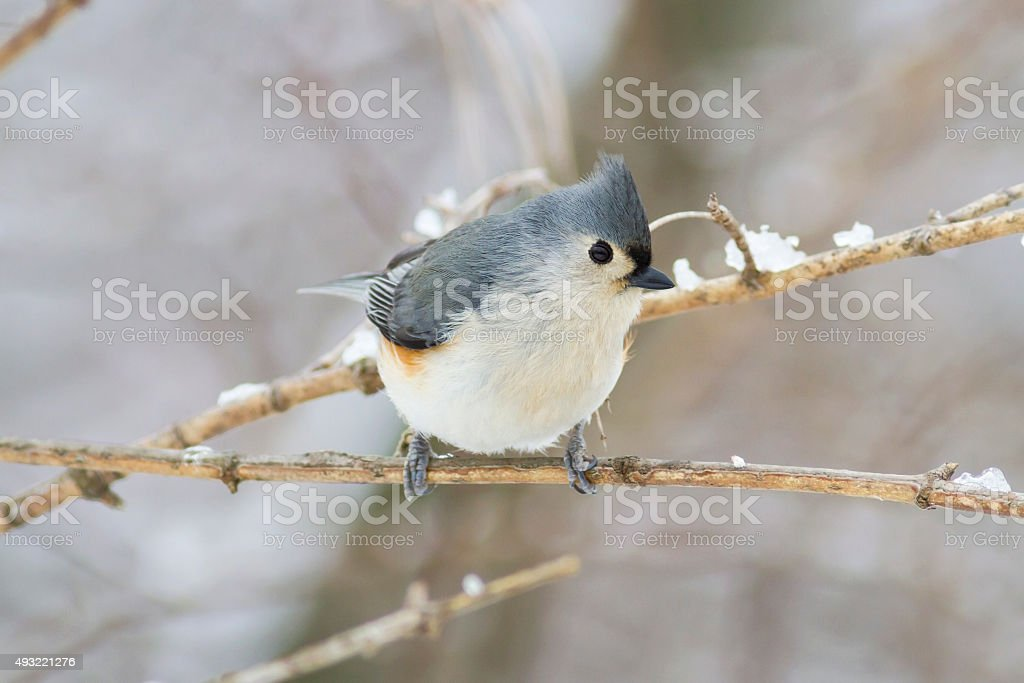 Tufted Titmouse Bird perched on cold tree branch with snow stock photo