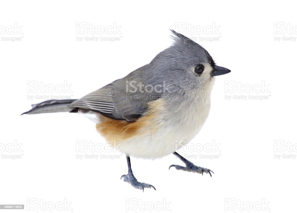 Tufted Titmouse Isolated stock photo