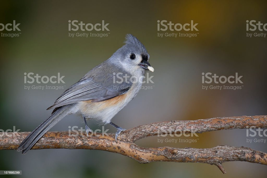 Tufted Titmouse (Baeolophus bicolor) With Seed In Beak royalty-free stock photo