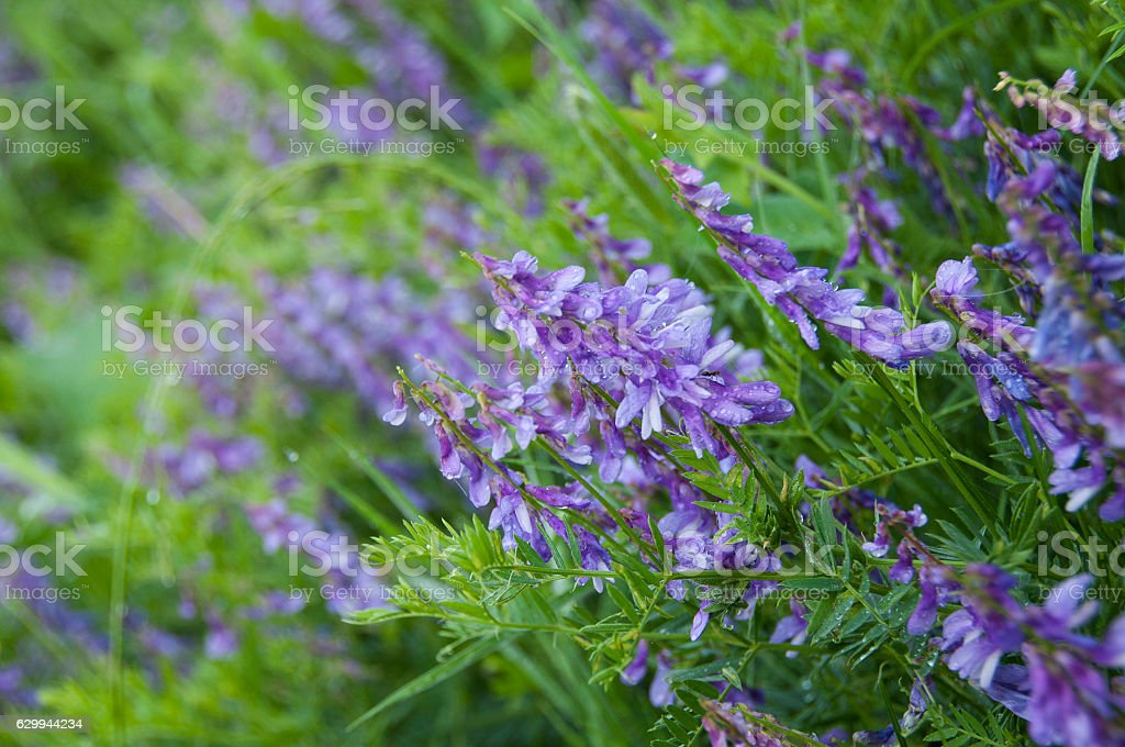 Tufted Vetch at wild stock photo