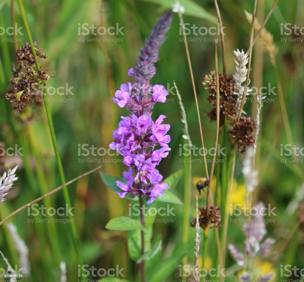 tufted vetch (Vicia cracca) stock photo