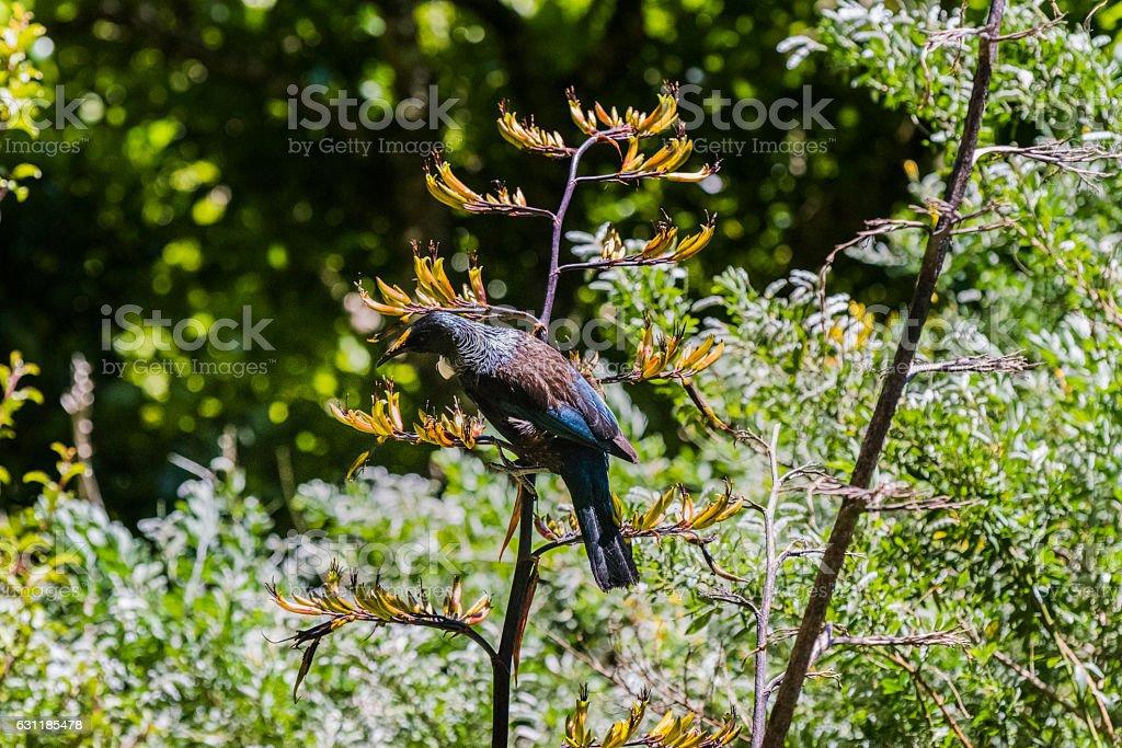 Tui bird feeding stock photo