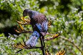 Tui bird feeding