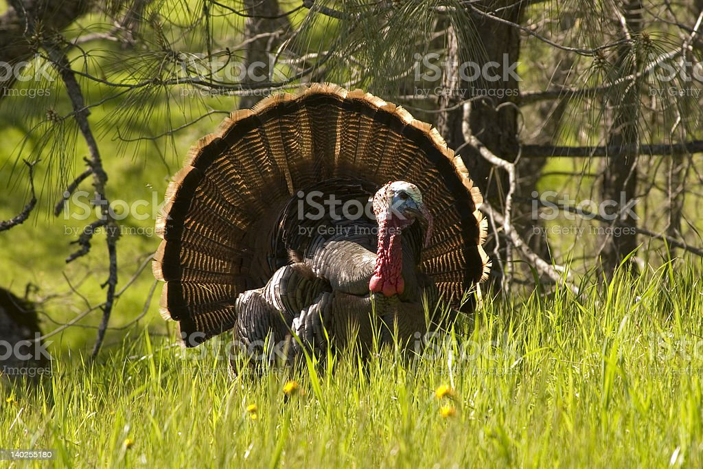 Tukey in Full Plume royalty-free stock photo