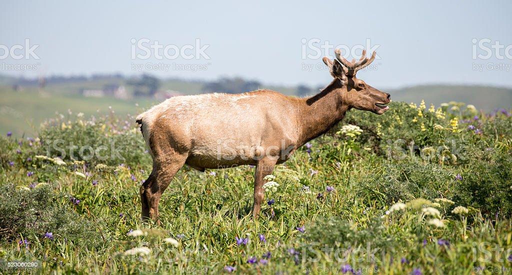 Tule Elk Bull, Cervus canadensis nannodes, Point Reyes National Seashore stock photo