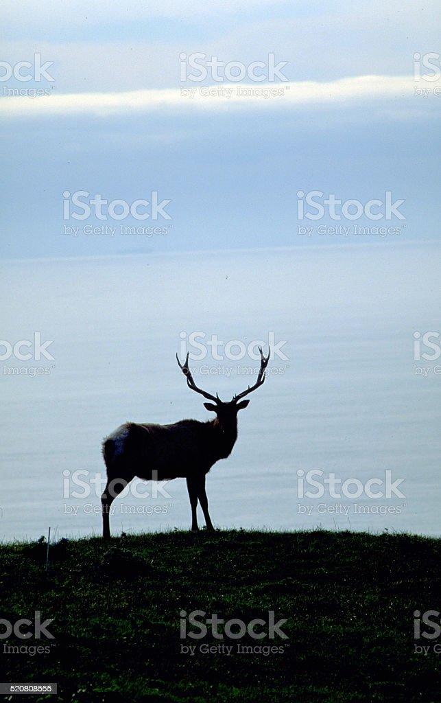 Tule Elk Bull Cervus canadensis Point Reyes National Seashore California stock photo