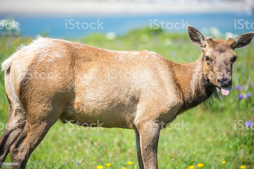 Tule Elk Cow - Cervus canadensis nannodes stock photo