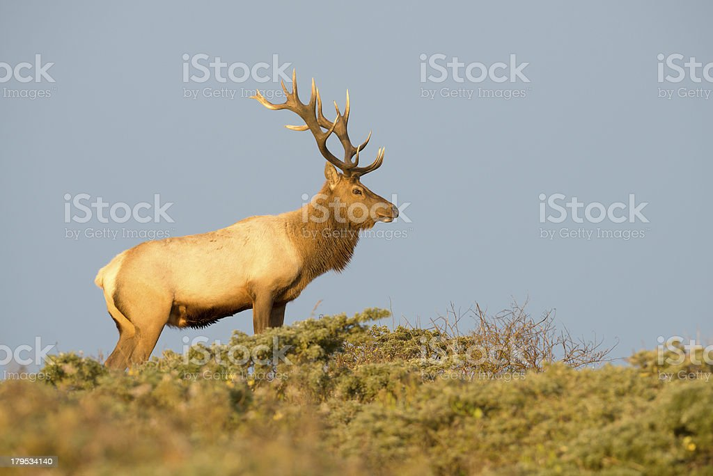 Tule Elk in Sunset light royalty-free stock photo