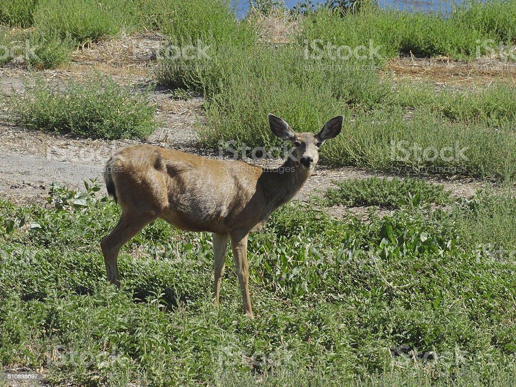 Tule Lake Deer stock photo