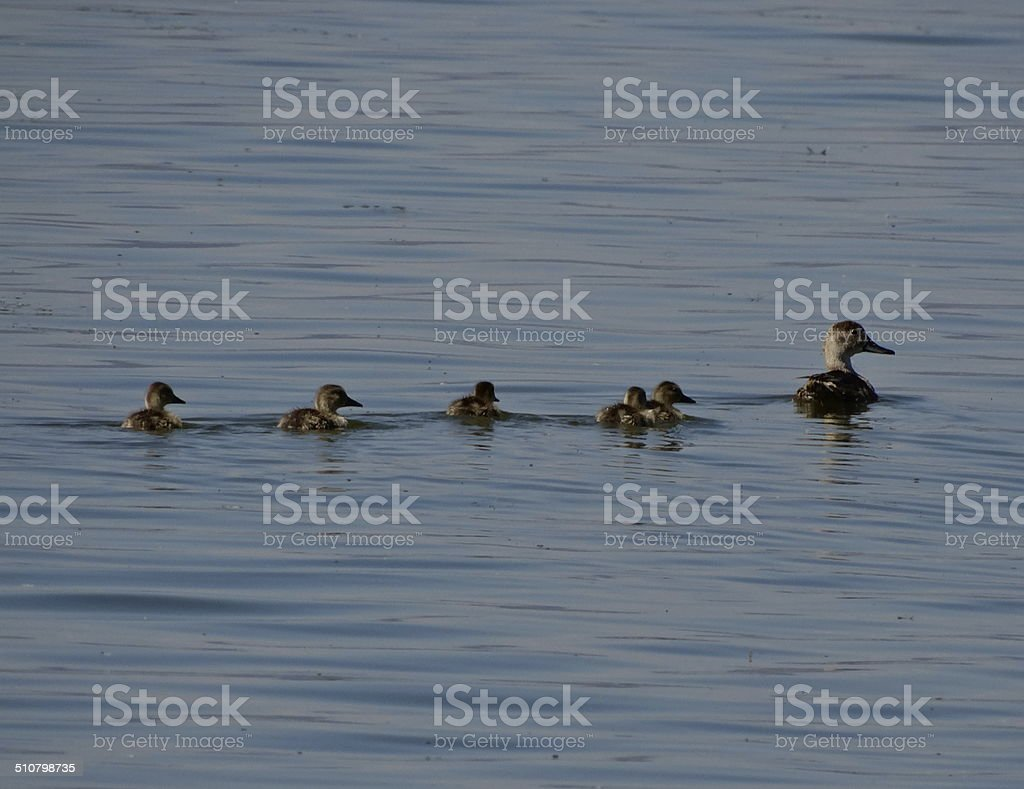 Tule Lake Ducklings stock photo