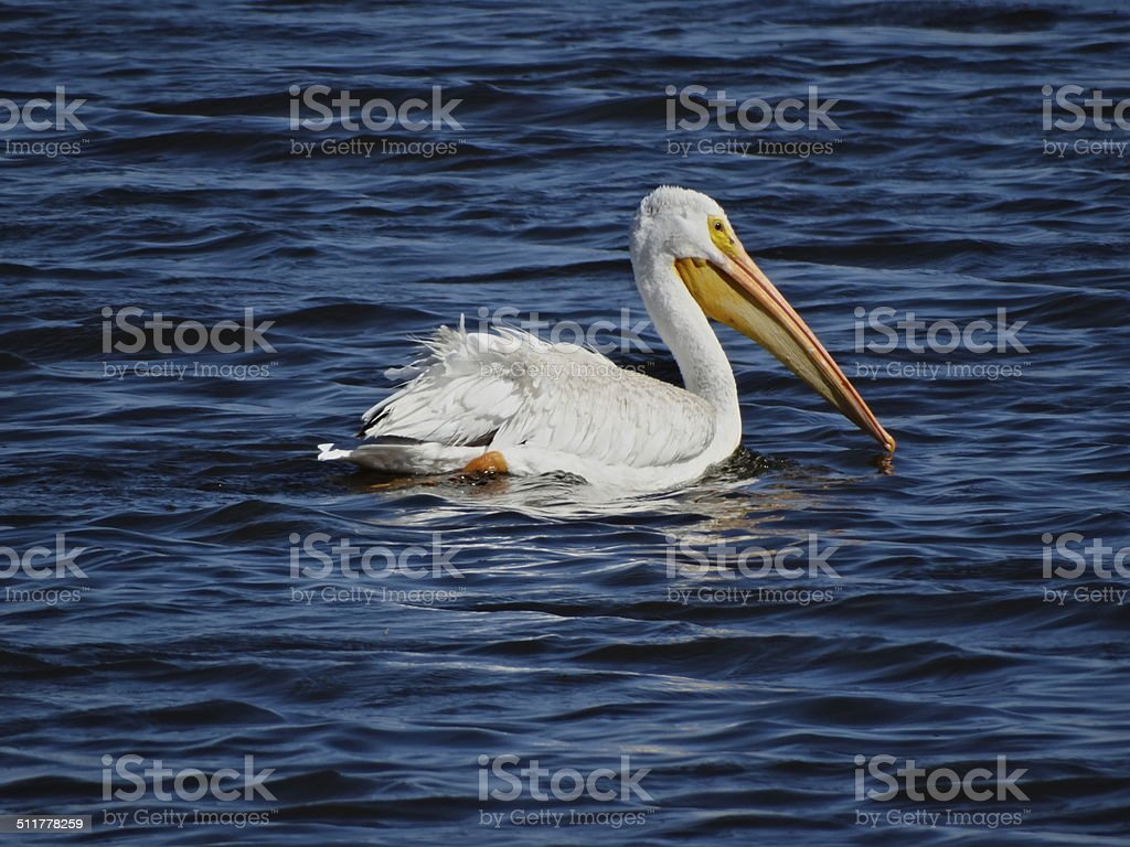 Tule Lake Pelican stock photo