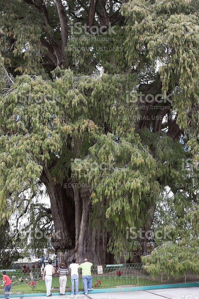 Tule Tree stock photo