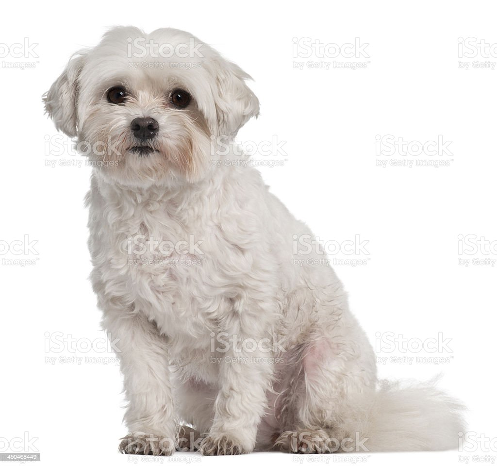 Coton de Tulear, 7 years old royalty-free stock photo
