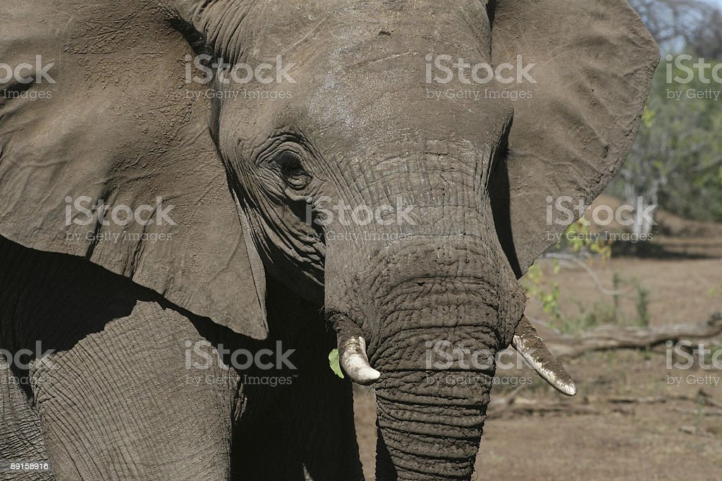 Tuli elephant royalty-free stock photo