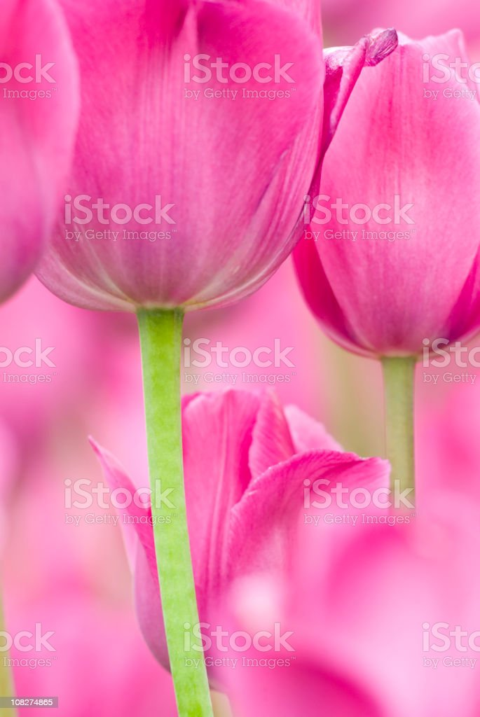 Tulip abstract, 'Don Quichotte' cultivar - IV royalty-free stock photo