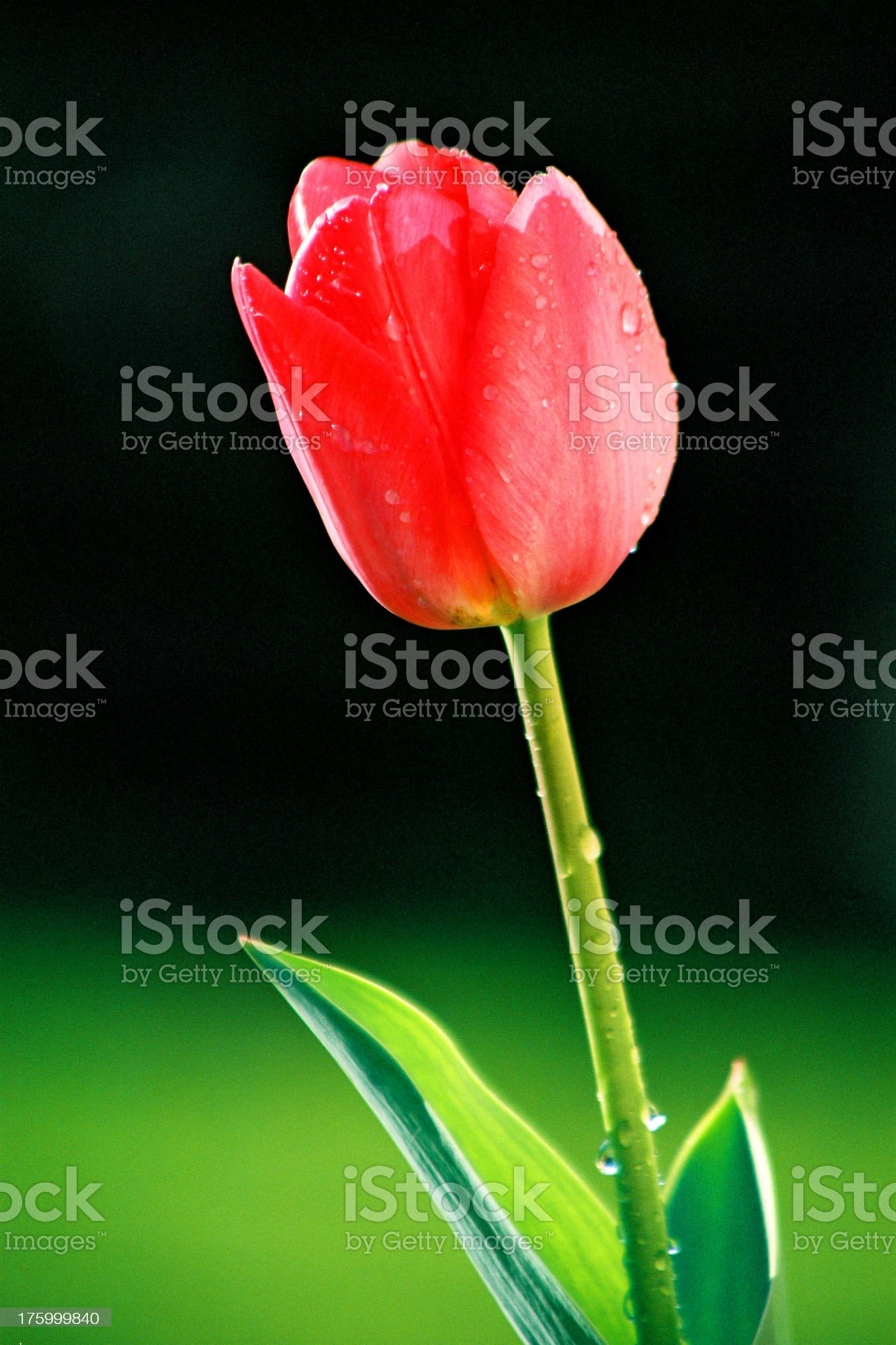 Tulip after the rain royalty-free stock photo