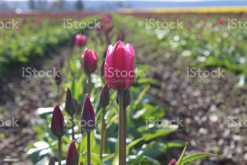 Tulip and daffodil fields stock photo