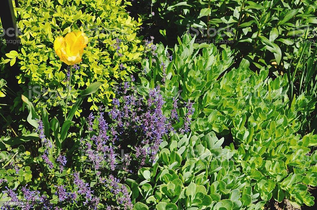 Tulip and lavender stock photo