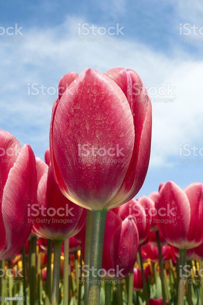 Tulip and sky stock photo